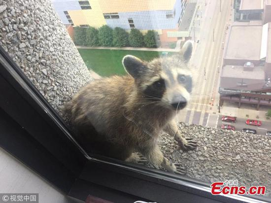 Raccoon captivates Internet with skyscraper climb