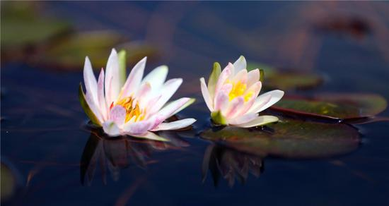 Water lilies on show in Shanghai