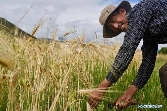 Highland barley in Tibet enters harvest season