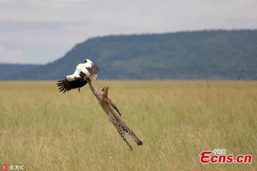 Bird miraculously escapes leopard attack